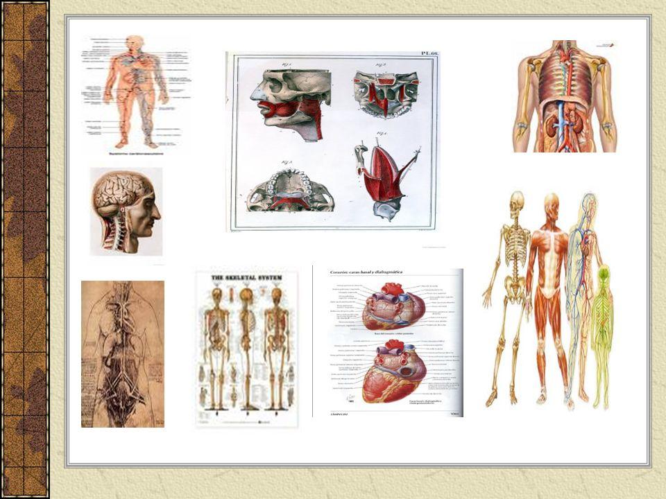 Lexique: Le corps humain Deuxième année de français E.S.O.