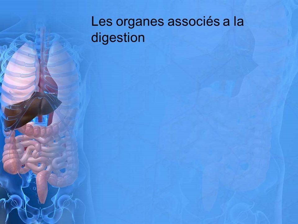 Les organes associés a la digestion