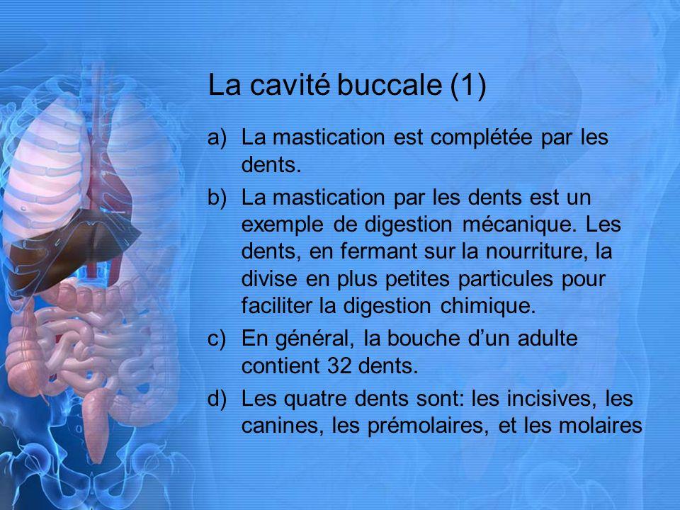 La cavité buccale (2) a)La langue aide à la digestion en déplaçant la nourriture vers les dents, en mélangeant la nourriture avec la salive, et en forçant la nourriture vers le pharynx (la gorge).