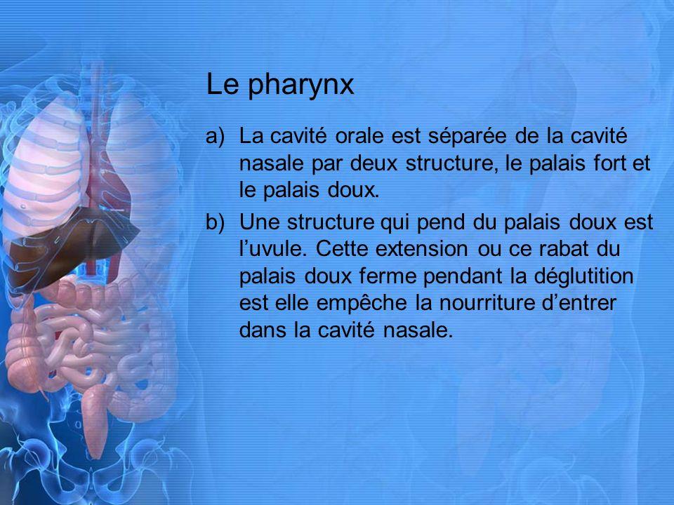 Le pharynx a)La cavité orale est séparée de la cavité nasale par deux structure, le palais fort et le palais doux.