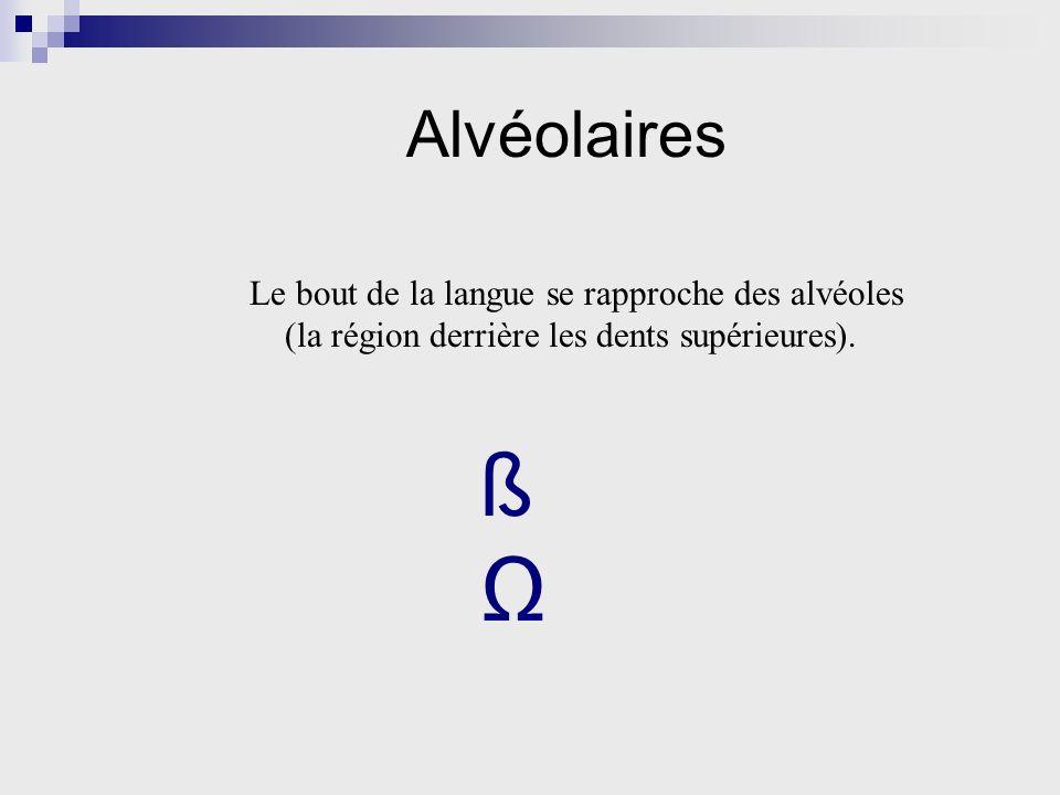 Alvéolaires Le bout de la langue se rapproche des alvéoles (la région derrière les dents supérieures). ß