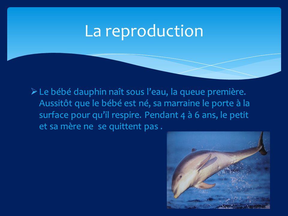 Le bébé dauphin naît sous leau, la queue première.