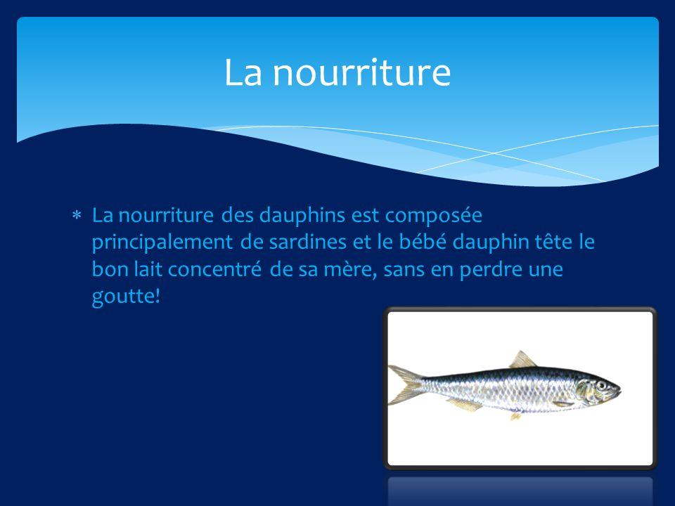 La nourriture des dauphins est composée principalement de sardines et le bébé dauphin tête le bon lait concentré de sa mère, sans en perdre une goutte.