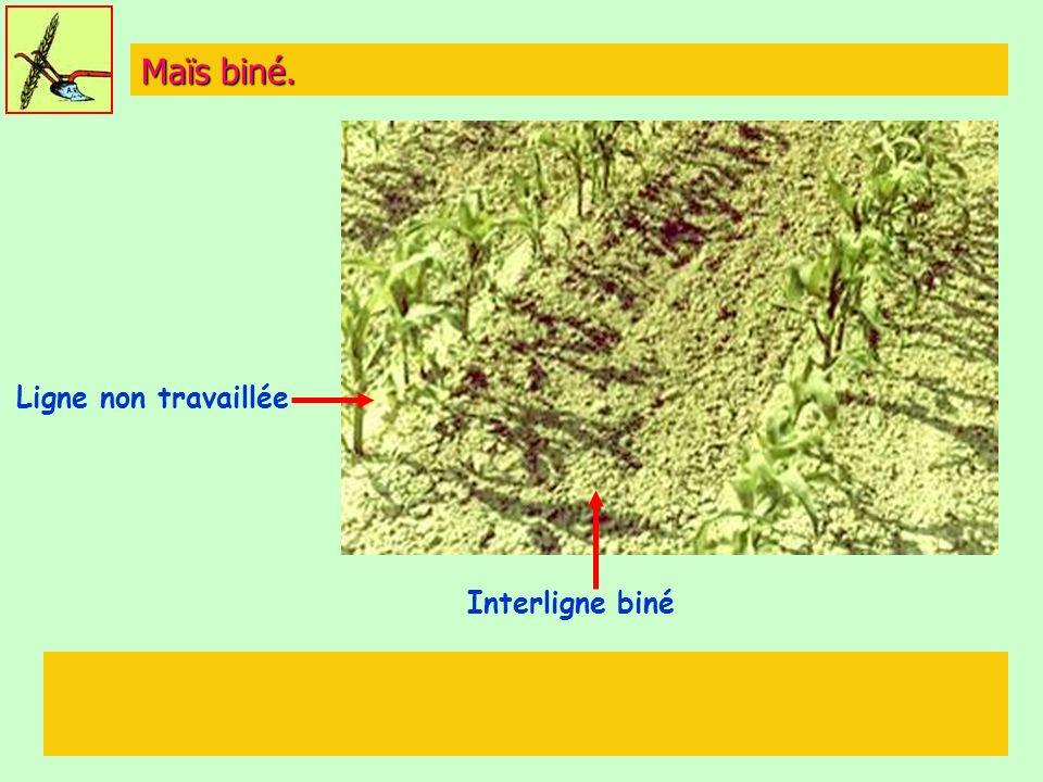 Maïs biné. Interligne biné Ligne non travaillée