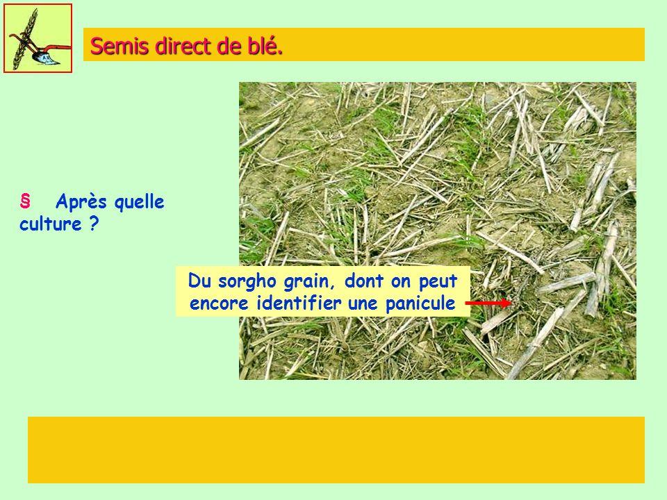 Semis direct de blé. § Après quelle culture ? Du sorgho grain, dont on peut encore identifier une panicule