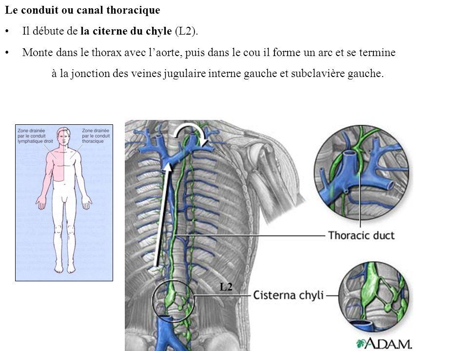 L2 Le conduit ou canal thoracique Il débute de la citerne du chyle (L2).