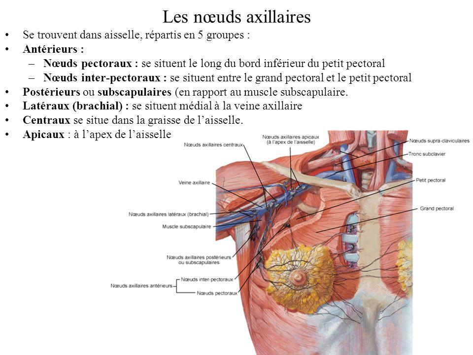 Les nœuds axillaires Se trouvent dans aisselle, répartis en 5 groupes : Antérieurs : –Nœuds pectoraux : se situent le long du bord inférieur du petit pectoral –Nœuds inter-pectoraux : se situent entre le grand pectoral et le petit pectoral Postérieurs ou subscapulaires (en rapport au muscle subscapulaire.