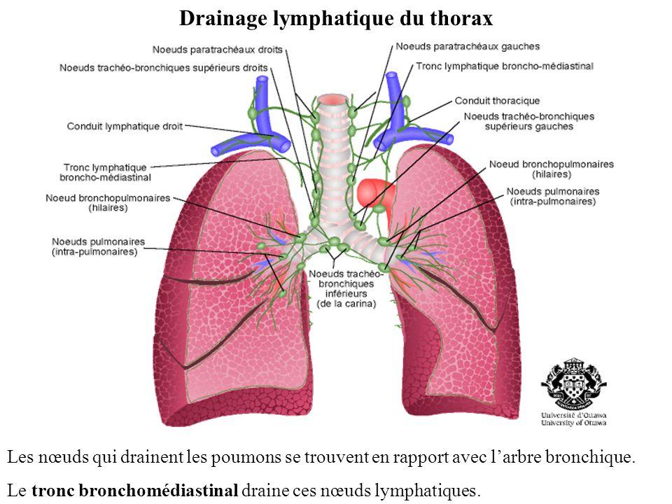 Drainage lymphatique du thorax Les nœuds qui drainent les poumons se trouvent en rapport avec larbre bronchique.