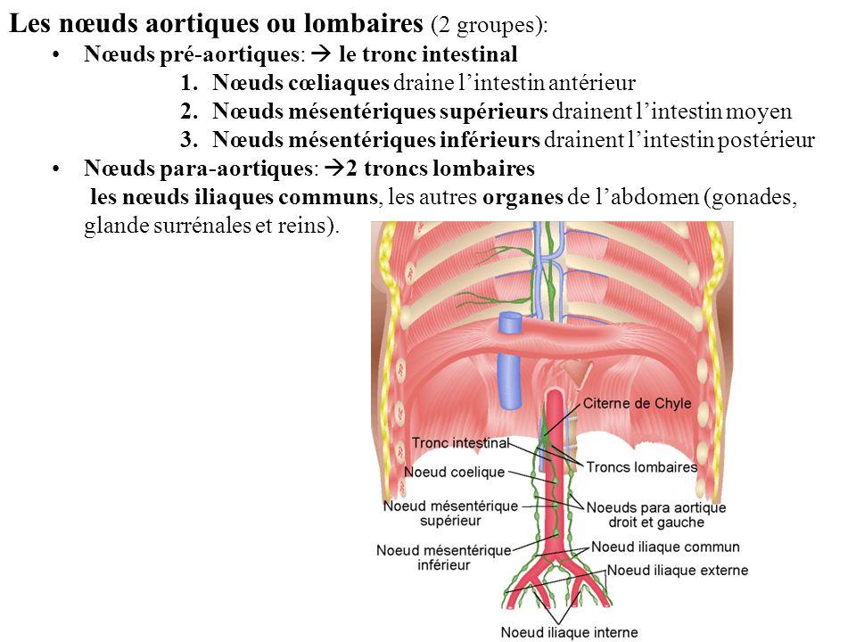 Les nœuds aortiques ou lombaires (2 groupes): Nœuds pré-aortiques: le tronc intestinal 1.Nœuds cœliaques draine lintestin antérieur 2.Nœuds mésentériques supérieurs drainent lintestin moyen 3.Nœuds mésentériques inférieurs drainent lintestin postérieur Nœuds para-aortiques: 2 troncs lombaires les nœuds iliaques communs, les autres organes de labdomen (gonades, glande surrénales et reins).