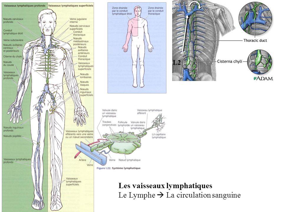 L2 Les vaisseaux lymphatiques Le Lymphe La circulation sanguine