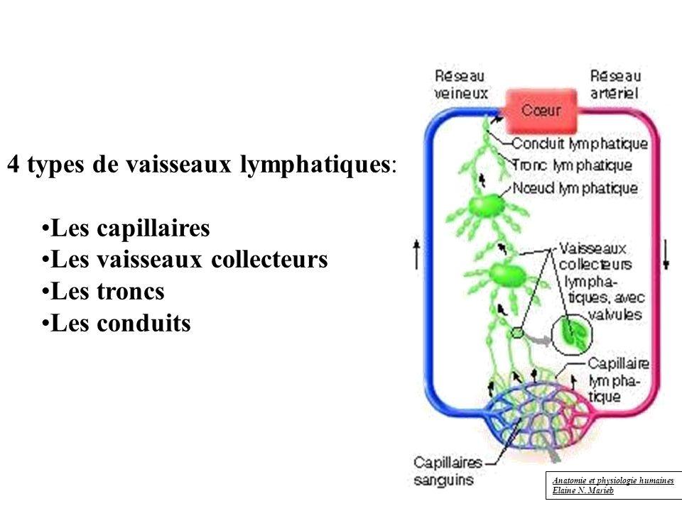 4 types de vaisseaux lymphatiques: Les capillaires Les vaisseaux collecteurs Les troncs Les conduits Anatomie et physiologie humaines Elaine N.
