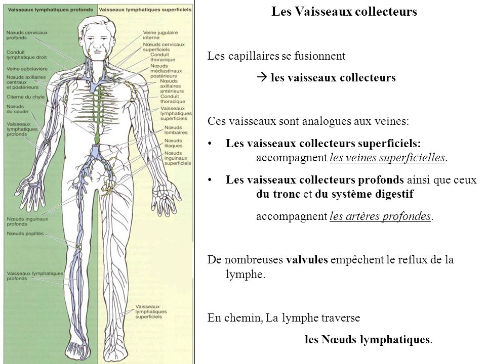 Les Vaisseaux collecteurs Les capillaires se fusionnent les vaisseaux collecteurs Ces vaisseaux sont analogues aux veines: Les vaisseaux collecteurs superficiels: accompagnent les veines superficielles.