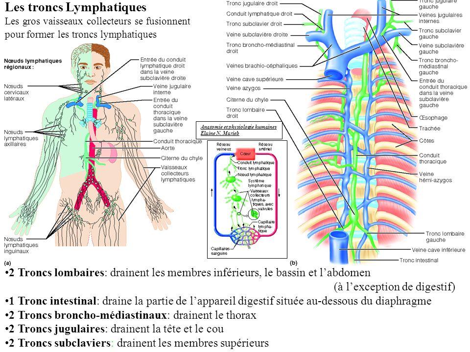 Les troncs Lymphatiques Les gros vaisseaux collecteurs se fusionnent pour former les troncs lymphatiques 2 Troncs lombaires: drainent les membres inférieurs, le bassin et labdomen (à lexception de digestif) 1 Tronc intestinal: draine la partie de lappareil digestif située au-dessous du diaphragme 2 Troncs broncho-médiastinaux: drainent le thorax 2 Troncs jugulaires: drainent la tête et le cou 2 Troncs subclaviers: drainent les membres supérieurs Anatomie et physiologie humaines Elaine N.