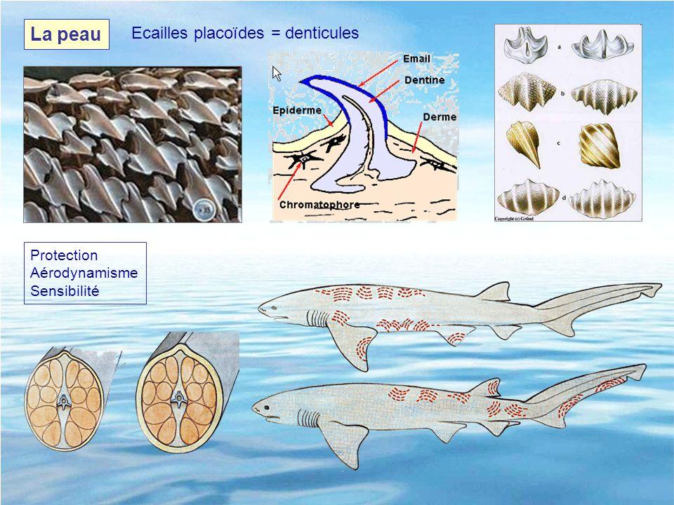 La peau Protection Aérodynamisme Sensibilité Ecailles placoïdes = denticules