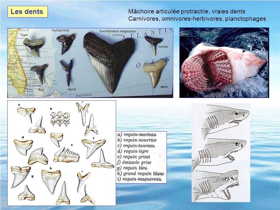 Les dents Mâchoire articulée protractile, vraies dents Carnivores, omnivores-herbivores, planctophages