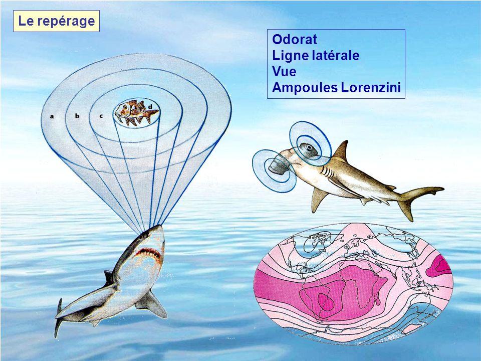 Le repérage Odorat Ligne latérale Vue Ampoules Lorenzini