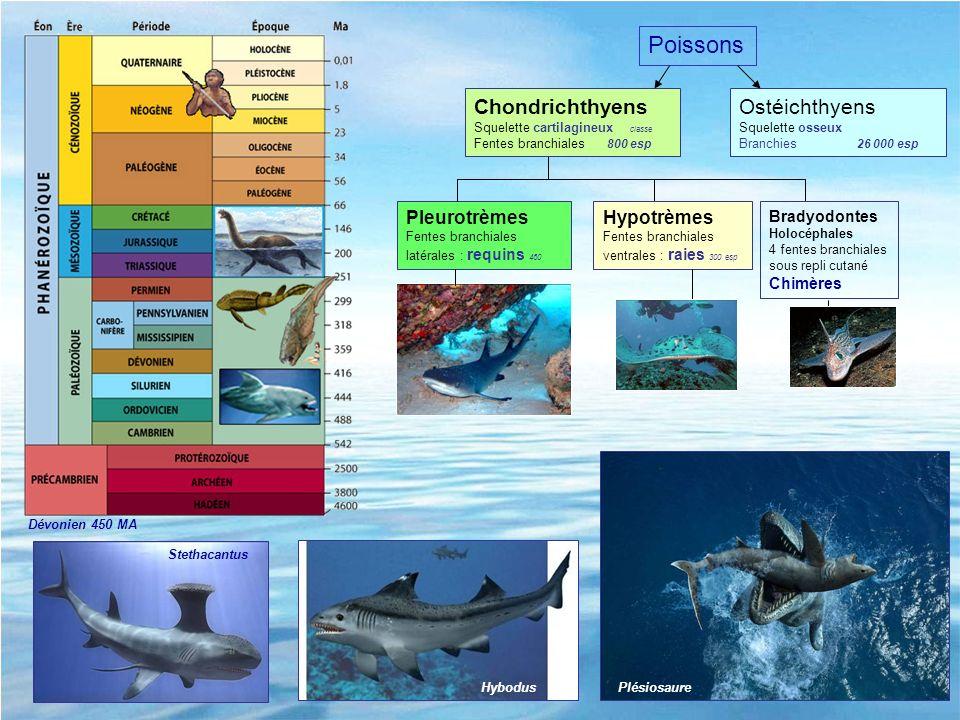 Ostéichthyens Squelette osseux Branchies 26 000 esp Pleurotrèmes Fentes branchiales latérales : requins 460 Chondrichthyens Squelette cartilagineux cl