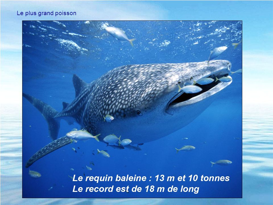 Le plus grand poisson