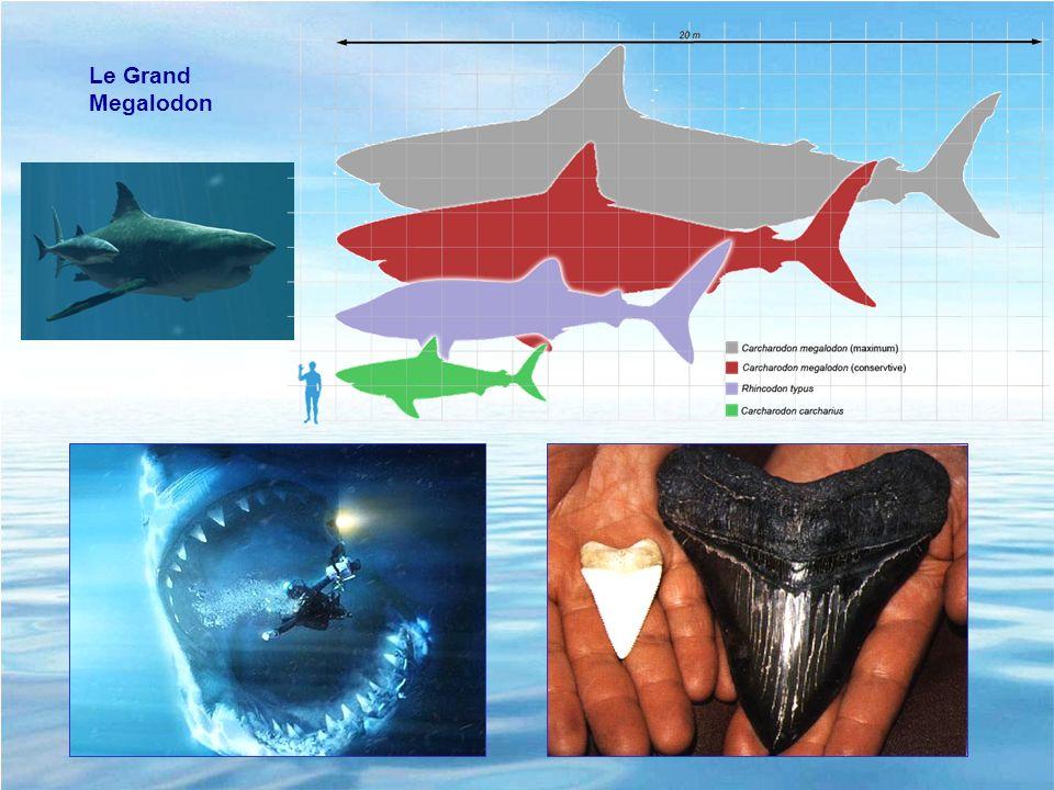 Distribution : partout => réussite zoologique Grande diversité : des types différents, liés à ladaptation au milieu, entre le requin aérodynamique et le requin benthique