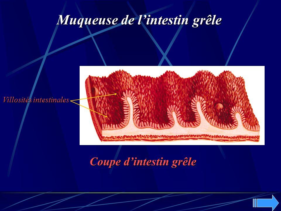 Coupe dintestin grêle Muqueuse de lintestin grêle Villosités intestinales