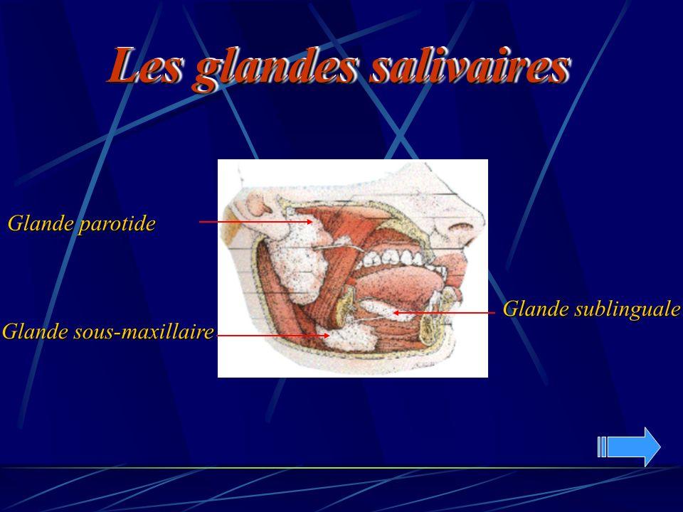 Glande parotide Glande sublinguale Glande sous-maxillaire