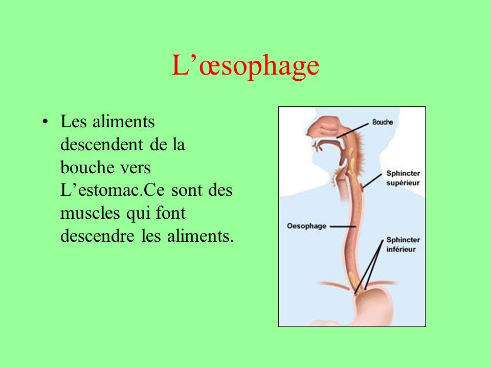 Lœsophage Les aliments descendent de la bouche vers Lestomac.Ce sont des muscles qui font descendre les aliments.