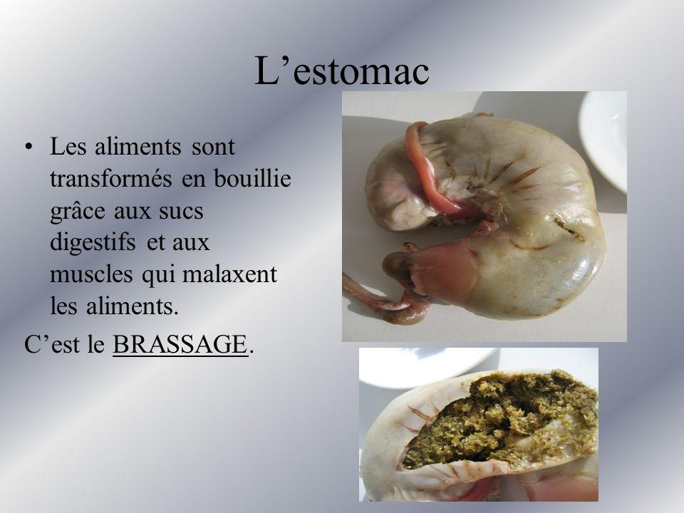 Lestomac Les aliments sont transformés en bouillie grâce aux sucs digestifs et aux muscles qui malaxent les aliments.