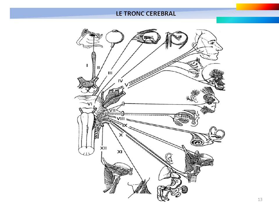 13 LE TRONC CEREBRAL