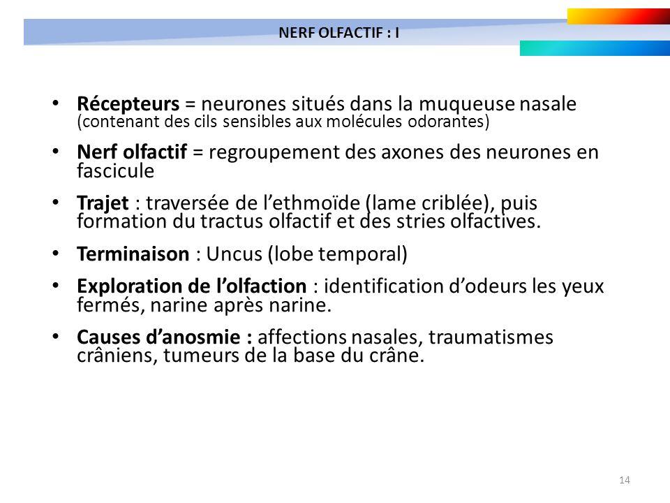 14 Récepteurs = neurones situés dans la muqueuse nasale (contenant des cils sensibles aux molécules odorantes) Nerf olfactif = regroupement des axones