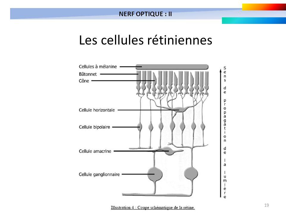 19 Les cellules rétiniennes NERF OPTIQUE : II