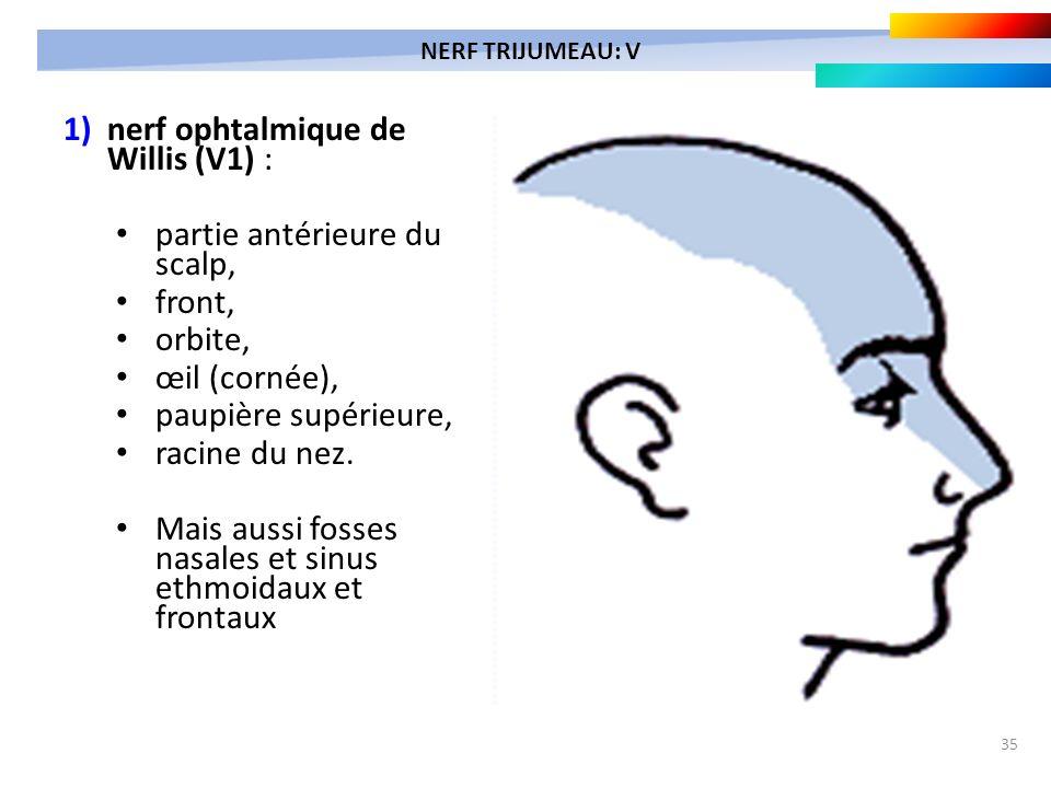35 1) nerf ophtalmique de Willis (V1) : partie antérieure du scalp, front, orbite, œil (cornée), paupière supérieure, racine du nez. Mais aussi fosses