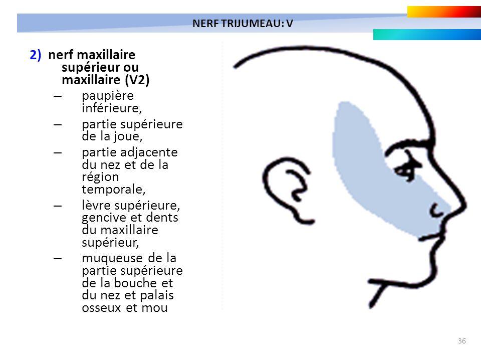 36 2) nerf maxillaire supérieur ou maxillaire (V2) – paupière inférieure, – partie supérieure de la joue, – partie adjacente du nez et de la région te