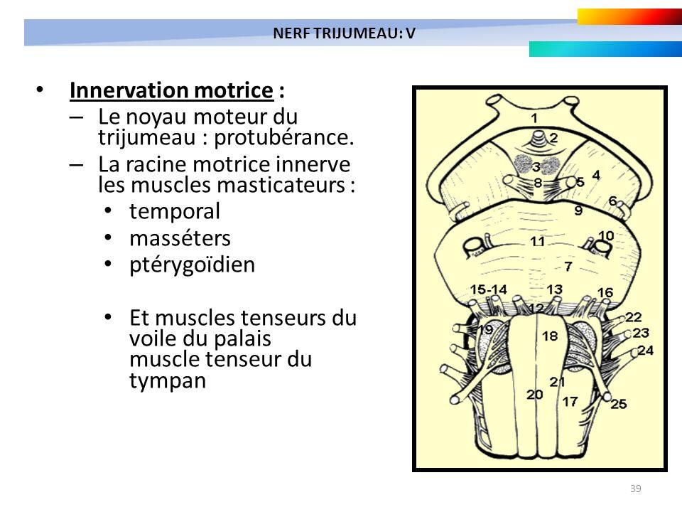 39 Innervation motrice : – Le noyau moteur du trijumeau : protubérance. – La racine motrice innerve les muscles masticateurs : temporal masséters ptér