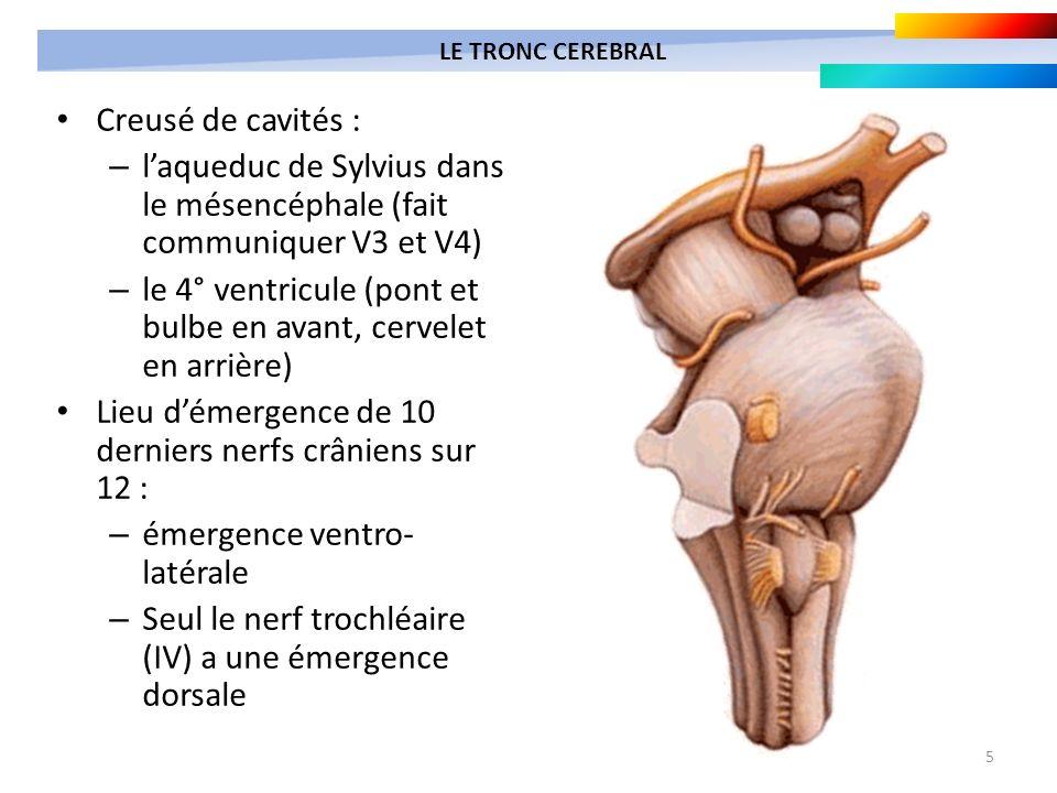 5 Creusé de cavités : – laqueduc de Sylvius dans le mésencéphale (fait communiquer V3 et V4) – le 4° ventricule (pont et bulbe en avant, cervelet en a