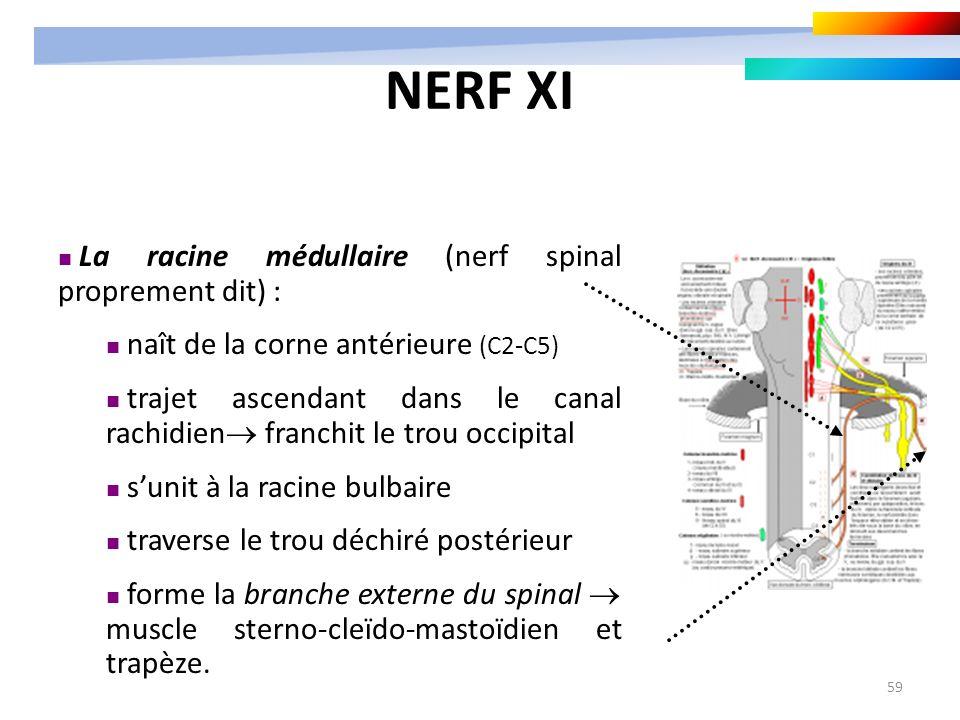 59 La racine médullaire (nerf spinal proprement dit) : naît de la corne antérieure (C2-C5) trajet ascendant dans le canal rachidien franchit le trou o