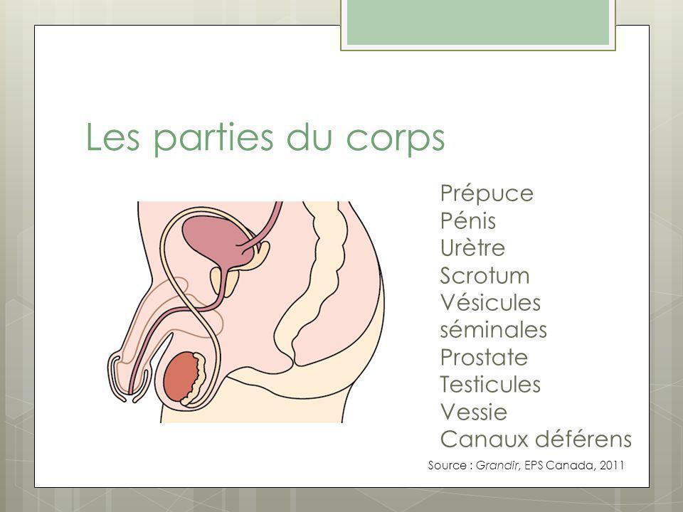 Les parties du corps Prépuce Pénis Urètre Scrotum Vésicules séminales Prostate Testicules Vessie Canaux déférens Source : Grandir, EPS Canada, 2011