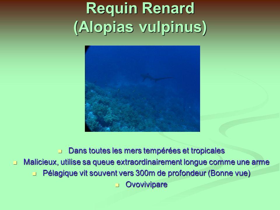 Requin Pointe noire (Carcharinus melanopterus) Très beau, petite taille 2m Eaux coralliennes 10 à à 15m Nourriture : Poissons, Céphalopodes Vivipare