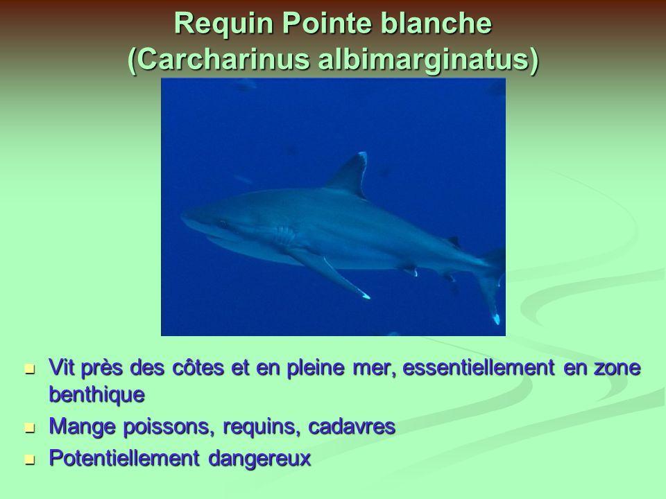 Requin Queue noire (Carcharhinus weeleri) Vivipare, 1 à 4 petits par portée Vivipare, 1 à 4 petits par portée Se nourrit de petits poissons, céphalopodes Se nourrit de petits poissons, céphalopodes Zone côtière jusquà 140m de profondeur Zone côtière jusquà 140m de profondeur Bonne vue Bonne vue