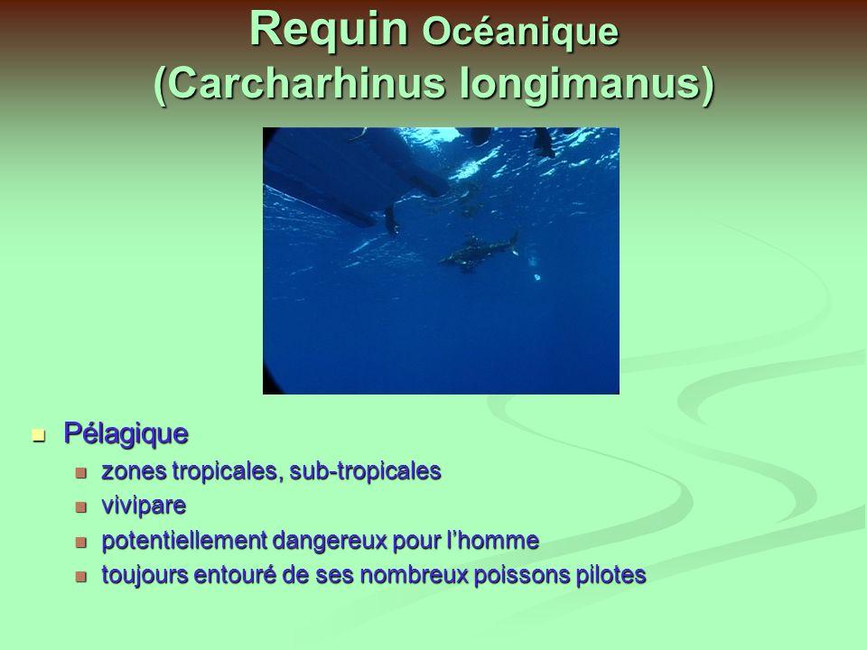 Requin Pointe blanche (Carcharinus albimarginatus) Vit près des côtes et en pleine mer, essentiellement en zone benthique Vit près des côtes et en pleine mer, essentiellement en zone benthique Mange poissons, requins, cadavres Mange poissons, requins, cadavres Potentiellement dangereux Potentiellement dangereux