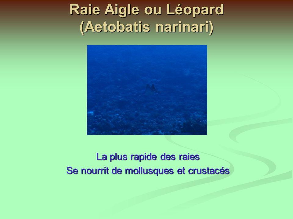 Raies Pastenague A point bleu (Taeniura malnospilos) Elles ont un dard venimeux dangereux Des raies et requins sédentaires ou de grand fond ont deux évents (spiracle) près des yeux qui leur permettent daspirer leau.