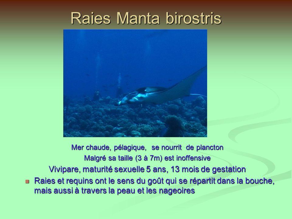 Raie Aigle ou Léopard (Aetobatis narinari) La plus rapide des raies Se nourrit de mollusques et crustacés