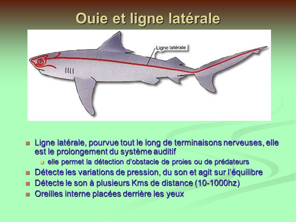 Raies Manta birostris Mer chaude, pélagique, se nourrit de plancton Malgré sa taille (3 à 7m) est inoffensive Vivipare, maturité sexuelle 5 ans, 13 mois de gestation Raies et requins ont le sens du goût qui se répartit dans la bouche, mais aussi à travers la peau et les nageoires Raies et requins ont le sens du goût qui se répartit dans la bouche, mais aussi à travers la peau et les nageoires