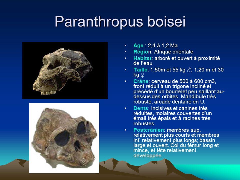 Paranthropus boisei Age : 2,4 à 1,2 Ma Région: Afrique orientale Habitat: arboré et ouvert à proximité de leau Taille: 1,50m et 55 kg ; 1,20 m et 30 k