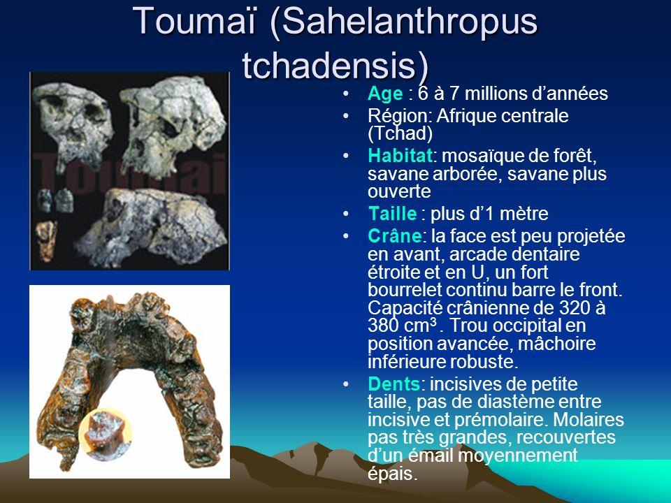 Toumaï (Sahelanthropus tchadensis) Age : 6 à 7 millions dannées Région: Afrique centrale (Tchad) Habitat: mosaïque de forêt, savane arborée, savane pl