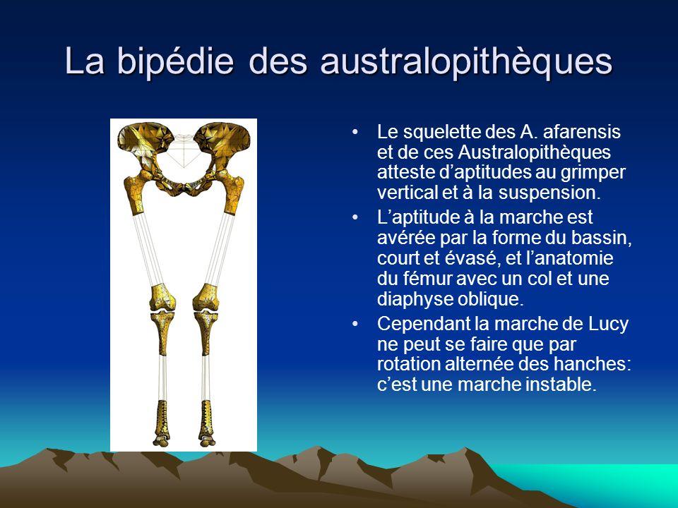 La bipédie des australopithèques Le squelette des A. afarensis et de ces Australopithèques atteste daptitudes au grimper vertical et à la suspension.