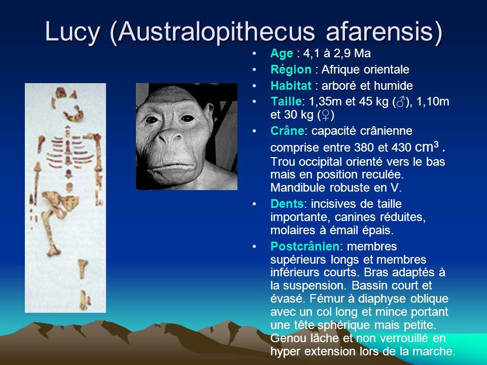 Lucy (Australopithecus afarensis) Age : 4,1 à 2,9 Ma Région : Afrique orientale Habitat : arboré et humide Taille: 1,35m et 45 kg (), 1,10m et 30 kg (
