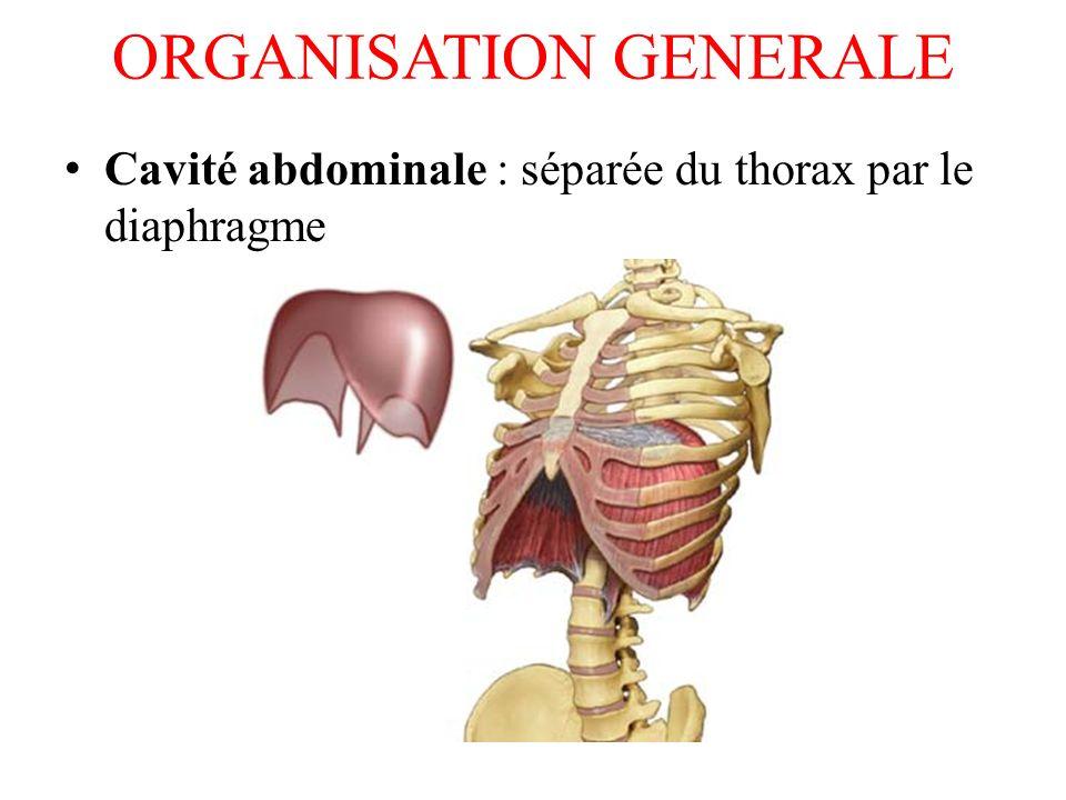 ORGANISATION GENERALE Péritoine : membrane entourant les viscères abdominaux et se réfléchissant sur les parois abdominales, délimitant une cavité.