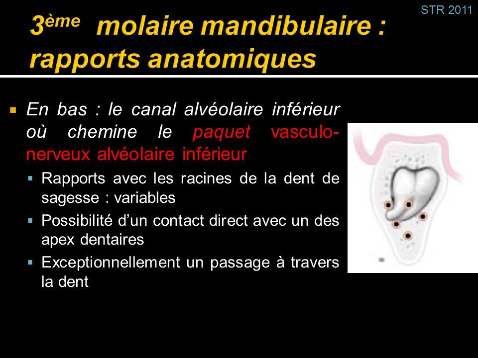 En bas : le canal alvéolaire inférieur où chemine le paquet vasculo- nerveux alvéolaire inférieur Rapports avec les racines de la dent de sagesse : va
