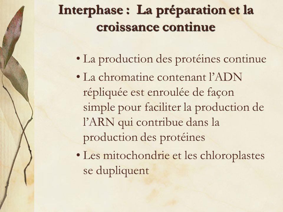 Interphase : La préparation et la croissance continue nucléole chromatine Membrane nucléaire Membrane cellulaire