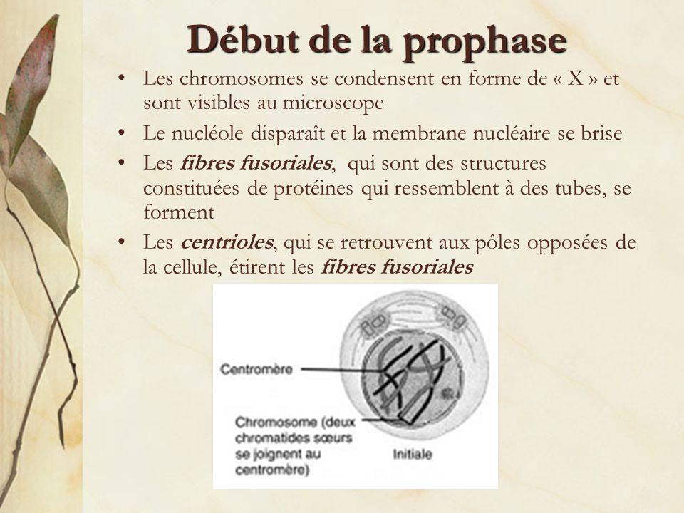 Fin de la prophase Les chromosomes sattachent aux fibres fusoriales par leur centromère La membrane nucléaire disparaît